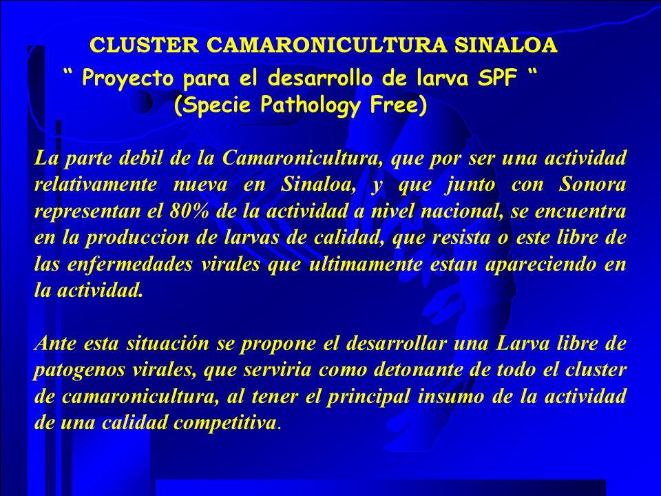 CLUSTER CAMARONICULTURA SINALOA Proyecto para el desarrollo de larva SPF (Specie Pathology Free) La parte debil de la Camaronicultura, que por ser una