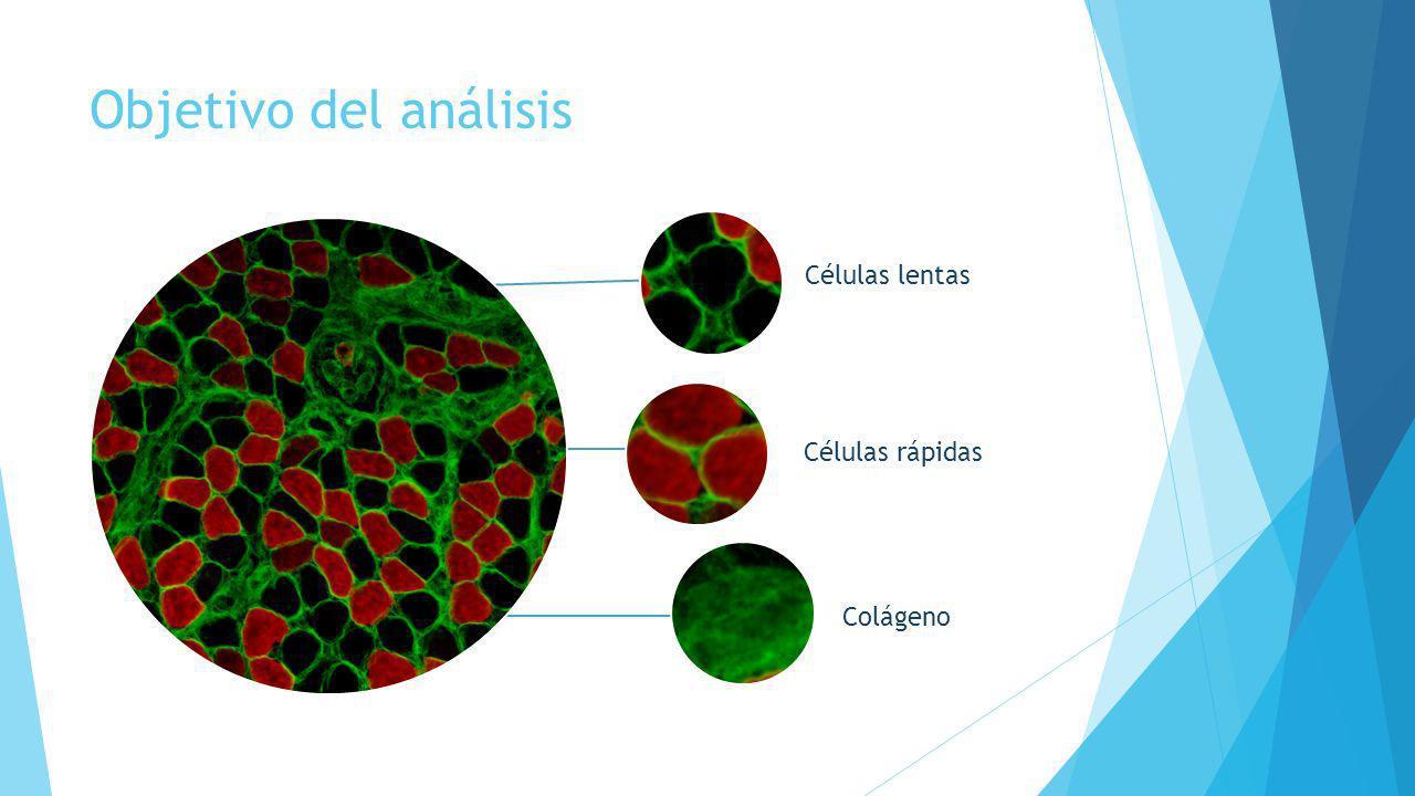 Objetivo del análisis Células rápidas Colágeno Células lentas