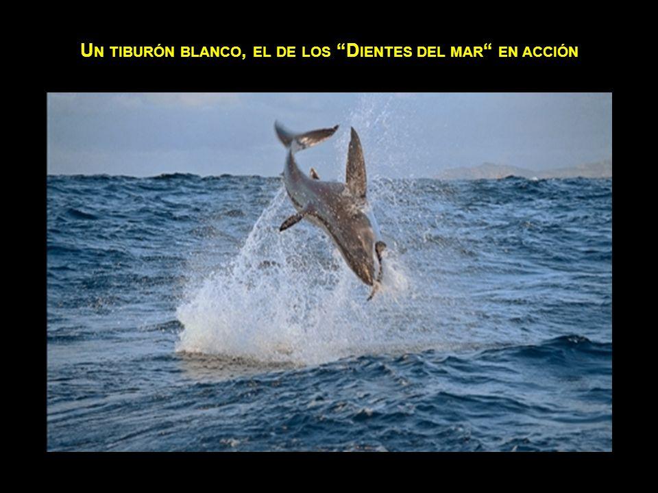 U N LEÓN MARINO TERMINA EN EL ESTÓMAGO DE UNA ORCA.