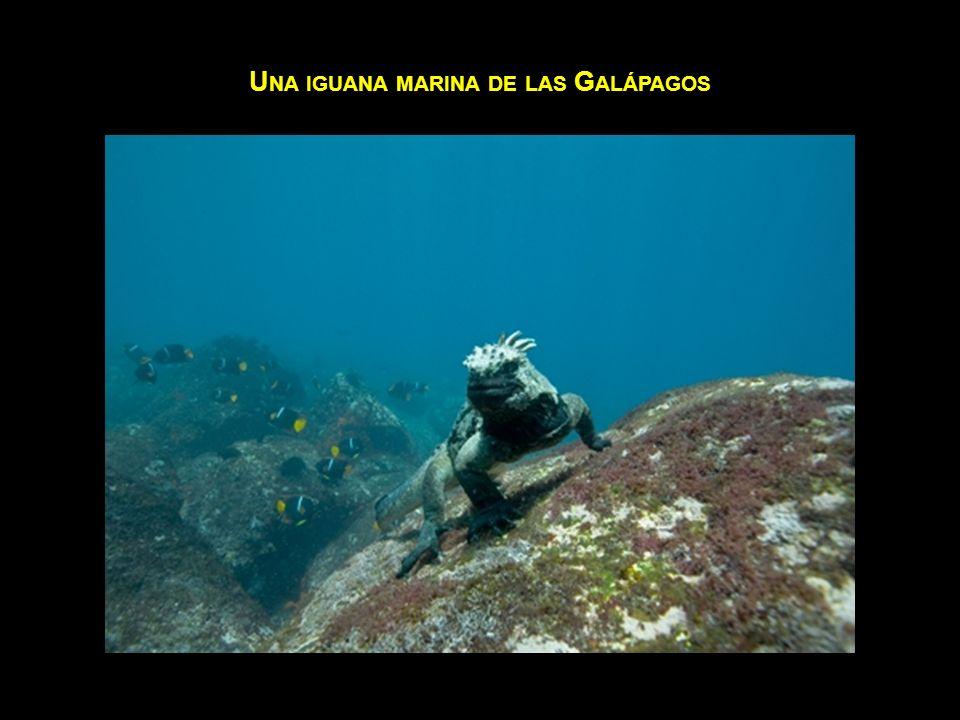 U NA IGUANA MARINA DE LAS G ALÁPAGOS