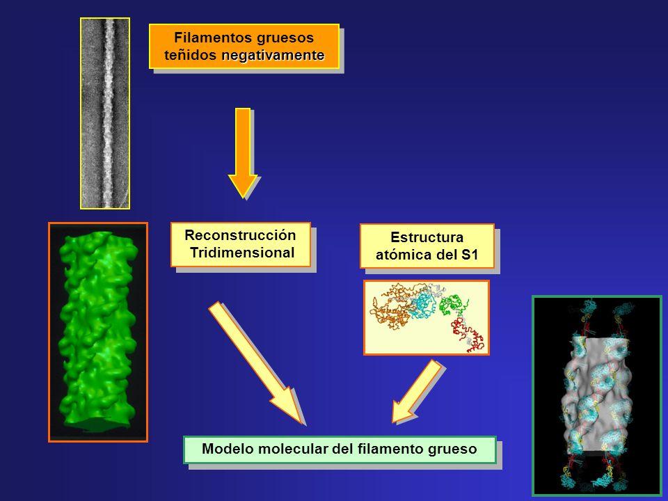 negativamente Filamentos gruesos teñidos negativamente Reconstrucción Tridimensional Modelo molecular del filamento grueso Estructura atómica del S1
