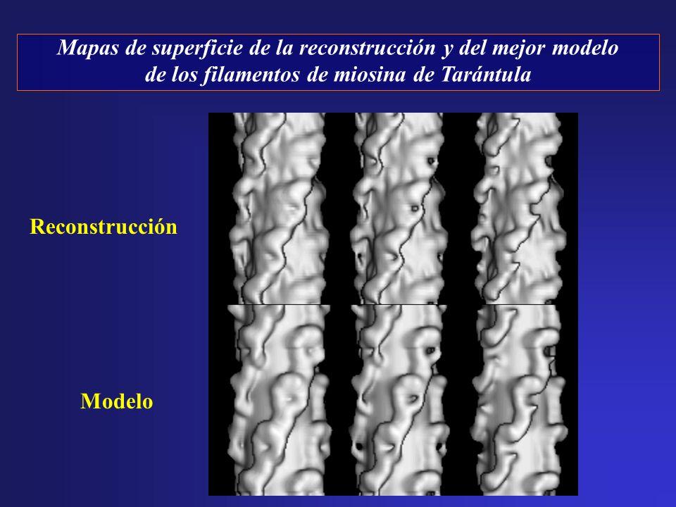 Reconstrucción Modelo Mapas de superficie de la reconstrucción y del mejor modelo de los filamentos de miosina de Tarántula