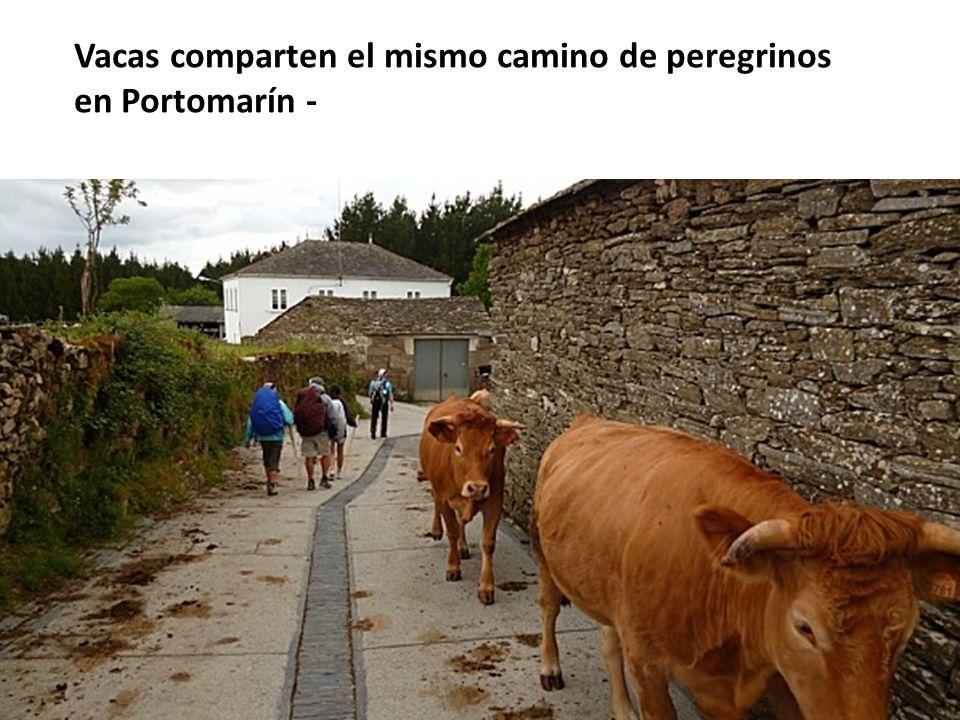 Vacas comparten el mismo camino de peregrinos en Portomarín -