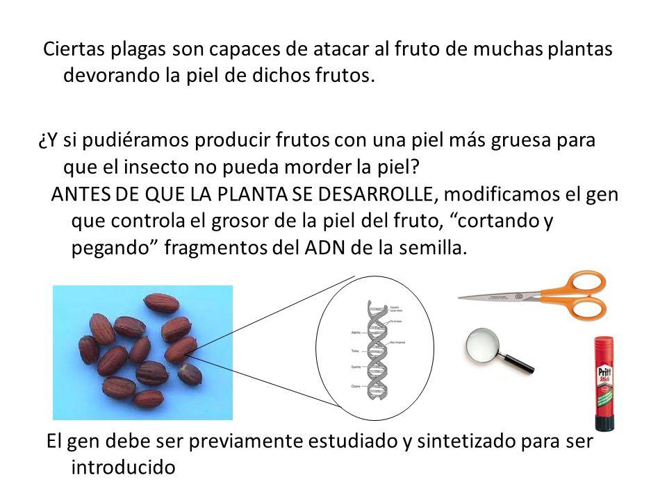 Ciertas plagas son capaces de atacar al fruto de muchas plantas devorando la piel de dichos frutos. ¿Y si pudiéramos producir frutos con una piel más