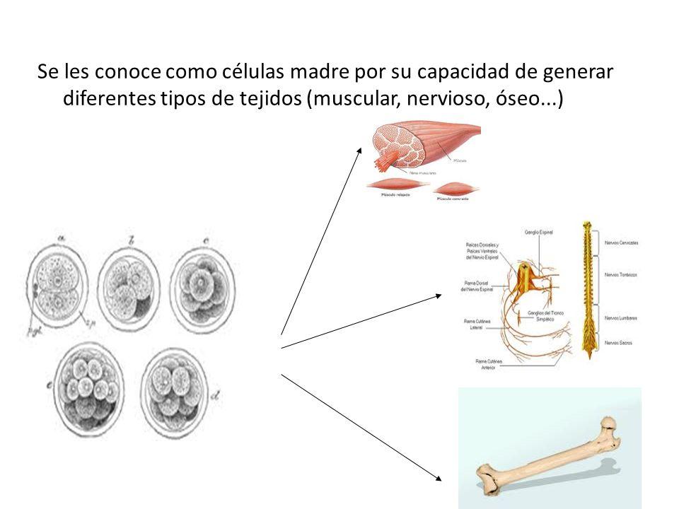 Se les conoce como células madre por su capacidad de generar diferentes tipos de tejidos (muscular, nervioso, óseo...)