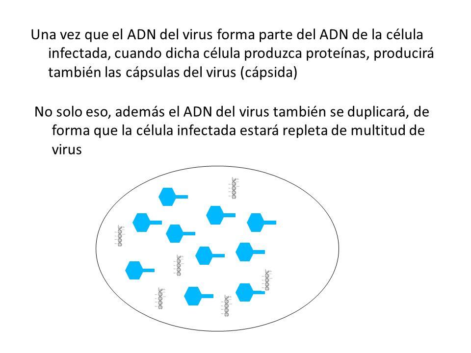 Una vez que el ADN del virus forma parte del ADN de la célula infectada, cuando dicha célula produzca proteínas, producirá también las cápsulas del vi