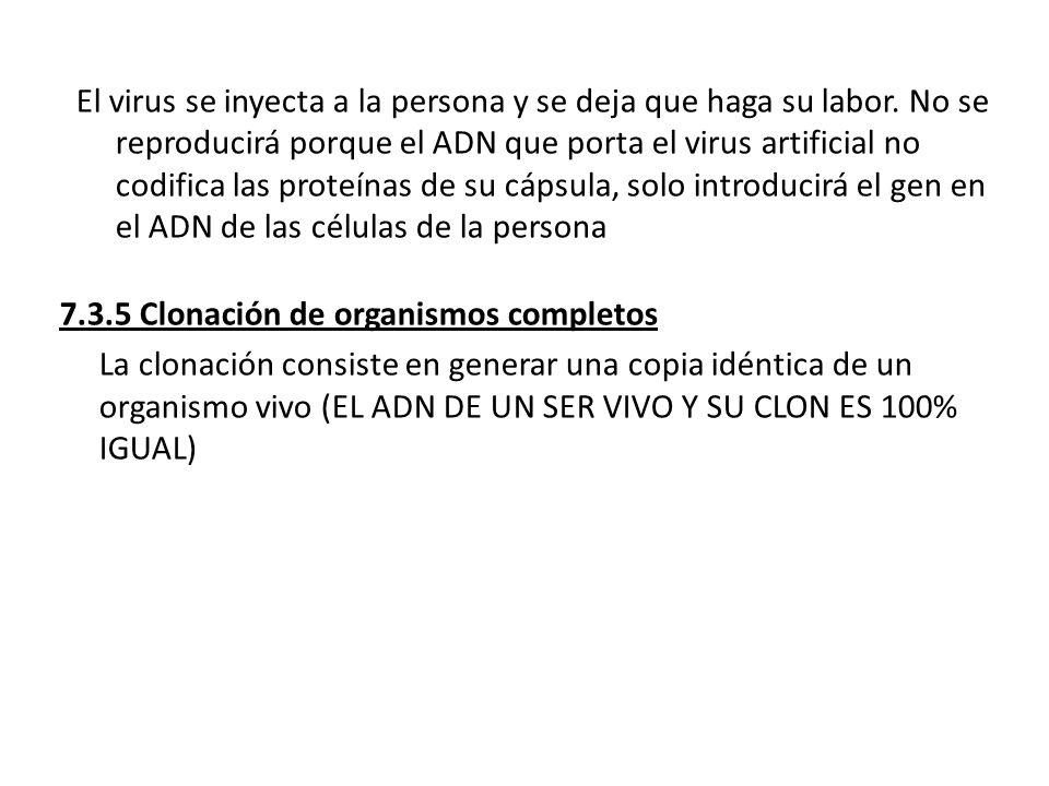 El virus se inyecta a la persona y se deja que haga su labor. No se reproducirá porque el ADN que porta el virus artificial no codifica las proteínas