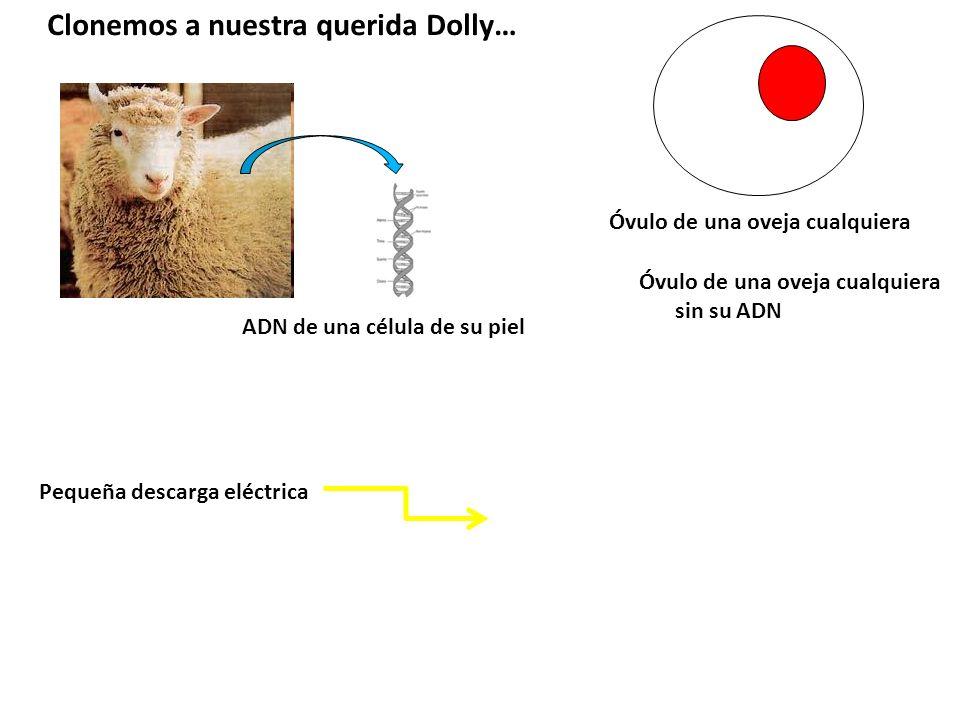 Clonemos a nuestra querida Dolly… ADN de una célula de su piel Óvulo de una oveja cualquiera Óvulo de una oveja cualquiera sin su ADN Pequeña descarga