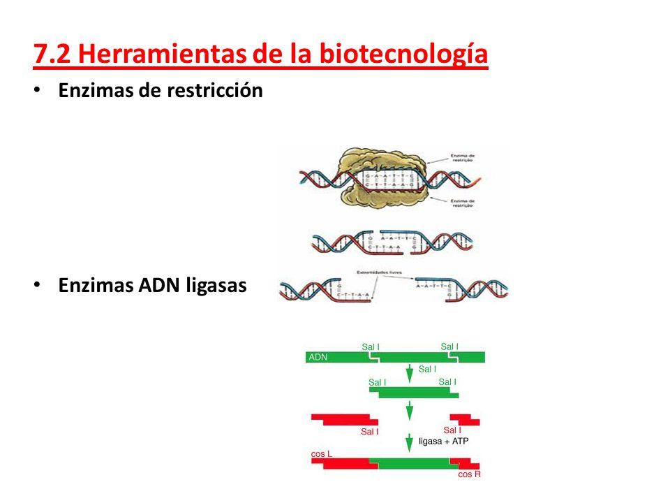7.2 Herramientas de la biotecnología Enzimas de restricción Enzimas ADN ligasas