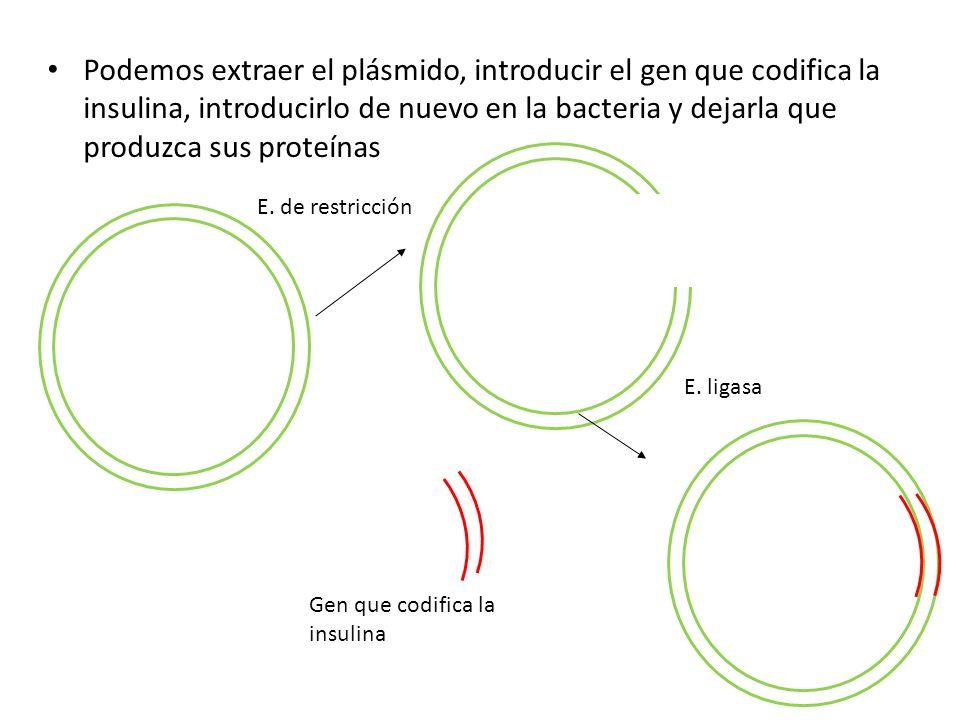 Podemos extraer el plásmido, introducir el gen que codifica la insulina, introducirlo de nuevo en la bacteria y dejarla que produzca sus proteínas Gen