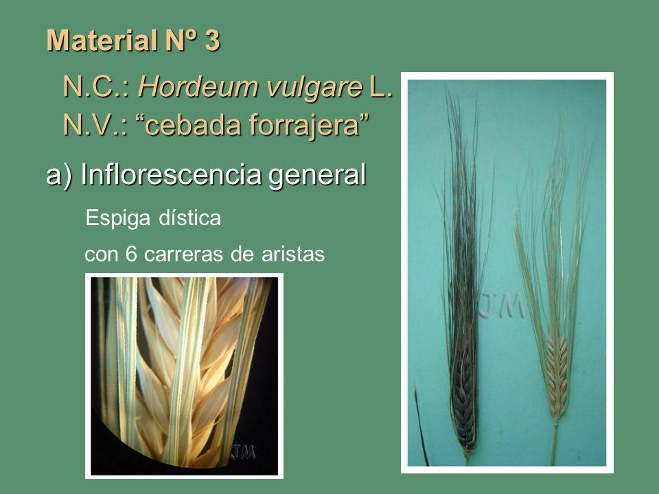 Material Nº 3 N.C.: Hordeum vulgare L. N.C.: Hordeum vulgare L. N.V.: cebada forrajera N.V.: cebada forrajera a) Inflorescencia general Espiga dística