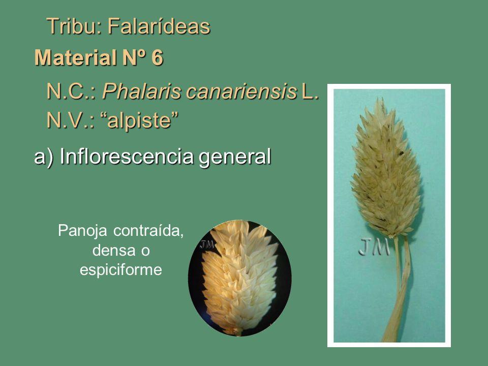 Tribu: Falarídeas Tribu: Falarídeas Material Nº 6 N.C.: Phalaris canariensis L. N.C.: Phalaris canariensis L. N.V.: alpiste N.V.: alpiste a) Infloresc