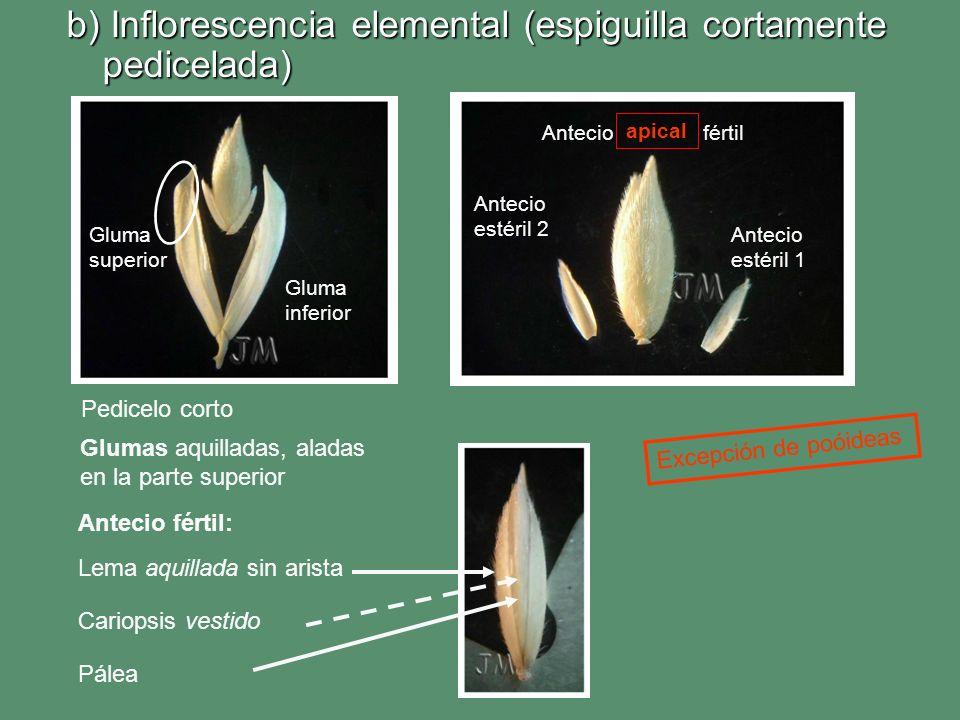 b) Inflorescencia elemental (espiguilla cortamente pedicelada) Gluma superior Gluma inferior Antecio estéril 1 Antecio estéril 2 Antecio fértil Lema a
