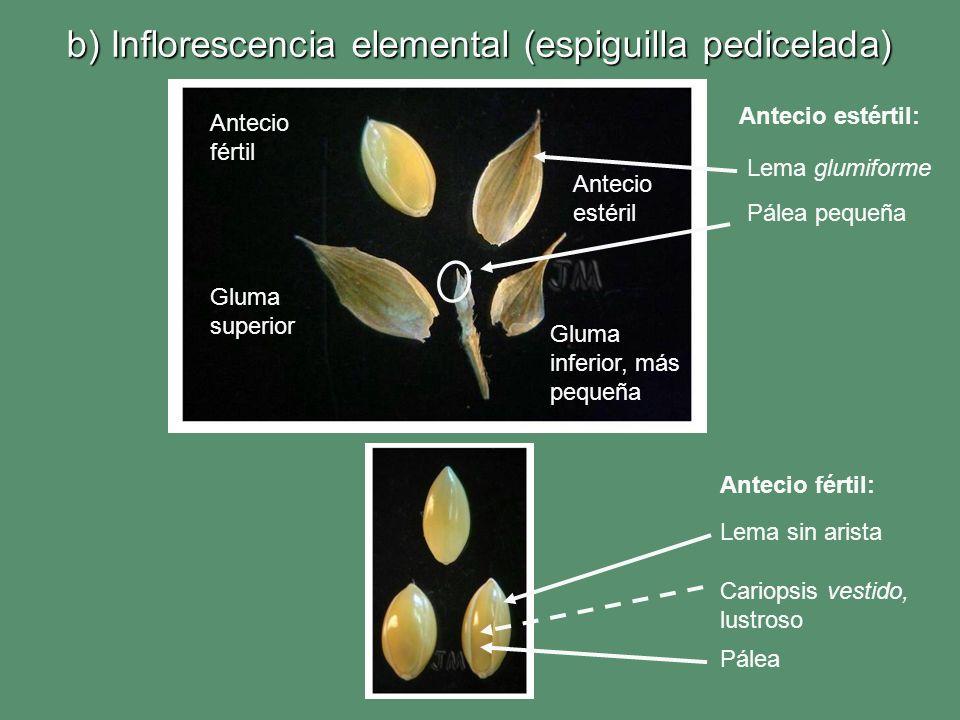 b) Inflorescencia elemental (espiguilla pedicelada) Lema sin arista Cariopsis vestido, lustroso Pálea Antecio fértil: Gluma superior Gluma inferior, m