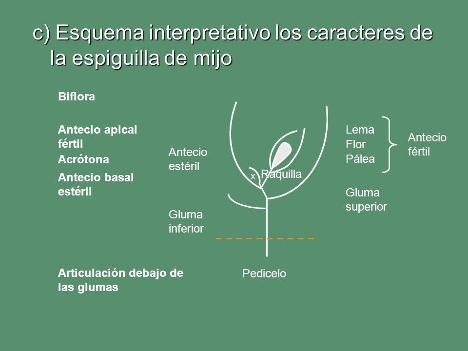 c) Esquema interpretativo los caracteres de la espiguilla de mijo Lema Pálea Gluma superior Gluma inferior Antecio estéril Flor Antecio basal estéril