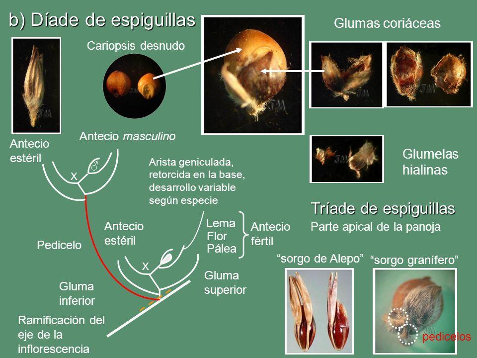 b) Díade de espiguillas Lema Pálea Gluma superior Gluma inferior Antecio fértil Antecio estéril Flor Arista geniculada, retorcida en la base, desarrol