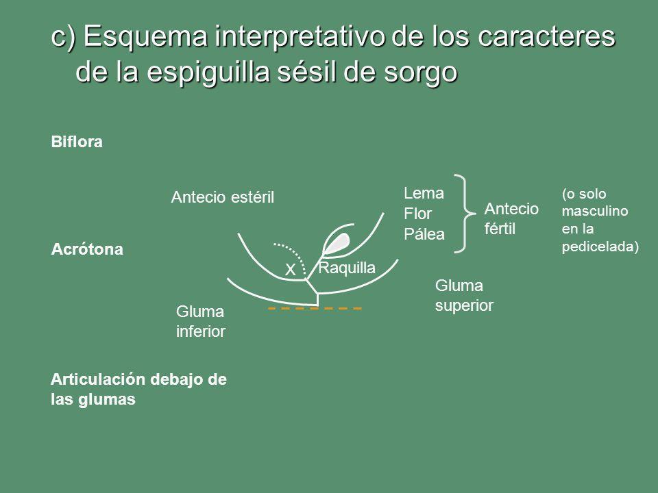 c) Esquema interpretativo de los caracteres de la espiguilla sésil de sorgo Lema Pálea Gluma superior Gluma inferior Antecio fértil Antecio estéril Fl