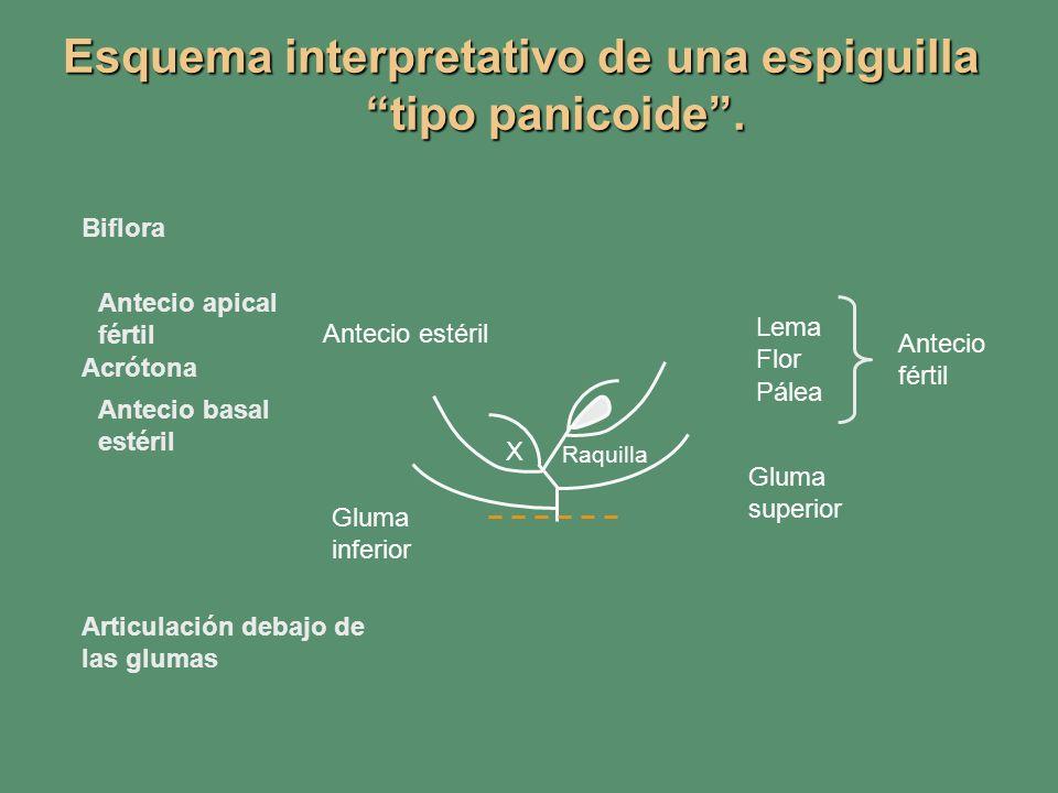 Esquema interpretativo de una espiguilla tipo panicoide. Antecio basal estéril Antecio apical fértil Biflora Articulación debajo de las glumas Acróton