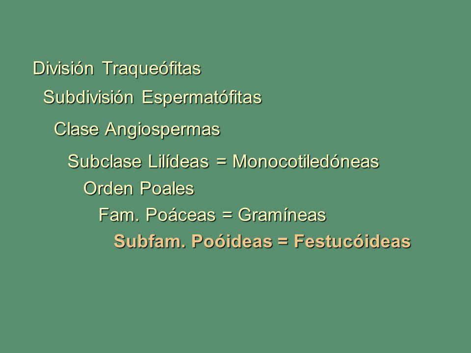 División Traqueófitas Subdivisión Espermatófitas Subdivisión Espermatófitas Clase Angiospermas Clase Angiospermas Subclase Lilídeas = Monocotiledóneas