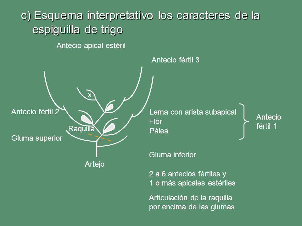 c) Esquema interpretativo los caracteres de la espiguilla de trigo Lema con arista subapical Pálea Gluma superior Gluma inferior Antecio fértil 1 Ante