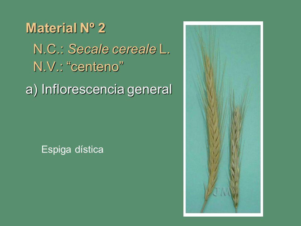 Material Nº 2 N.C.: Secale cereale L. N.C.: Secale cereale L. N.V.: centeno N.V.: centeno a) Inflorescencia general Espiga dística