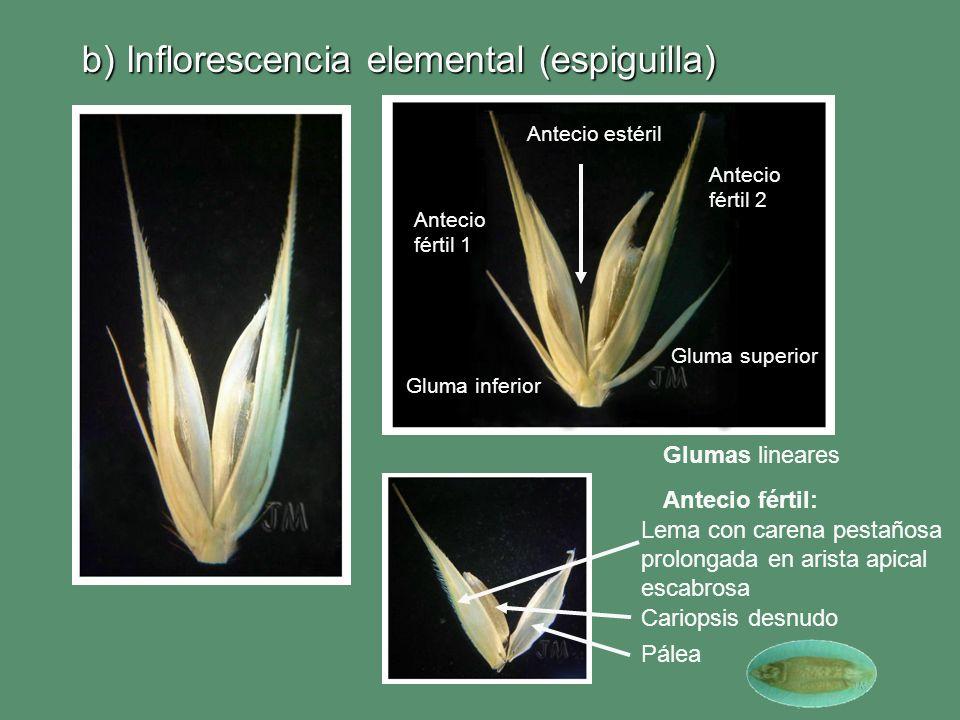 b) Inflorescencia elemental (espiguilla) Lema con carena pestañosa prolongada en arista apical escabrosa Cariopsis desnudo Pálea Gluma superior Gluma