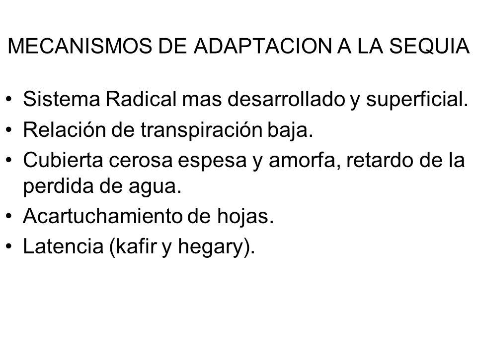 MECANISMOS DE ADAPTACION A LA SEQUIA Sistema Radical mas desarrollado y superficial. Relación de transpiración baja. Cubierta cerosa espesa y amorfa,