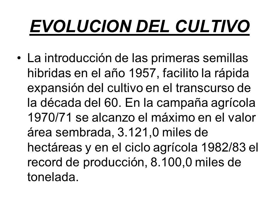 EVOLUCION DEL CULTIVO La introducción de las primeras semillas hibridas en el año 1957, facilito la rápida expansión del cultivo en el transcurso de la década del 60.