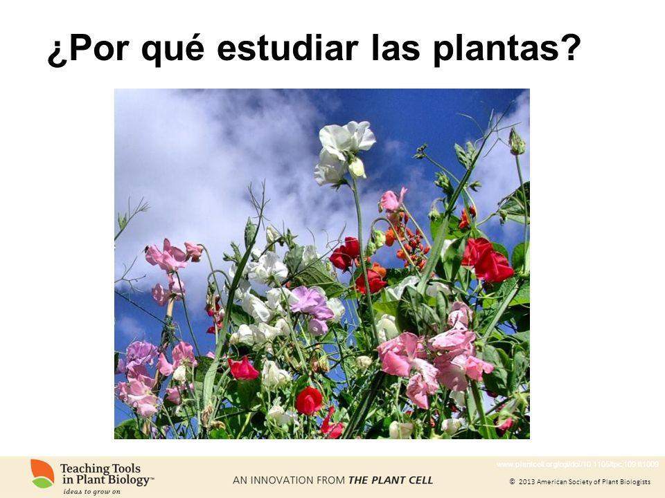 © 2013 American Society of Plant Biologists Estudiar las plantas nos ayuda a comprender nuestro mundo Dibujo de corcho realizado por Robert Hooke, descubridor de las células Las células fueron descubiertas en plantas Fotografía del corcho Crédito de foto: ©David B.