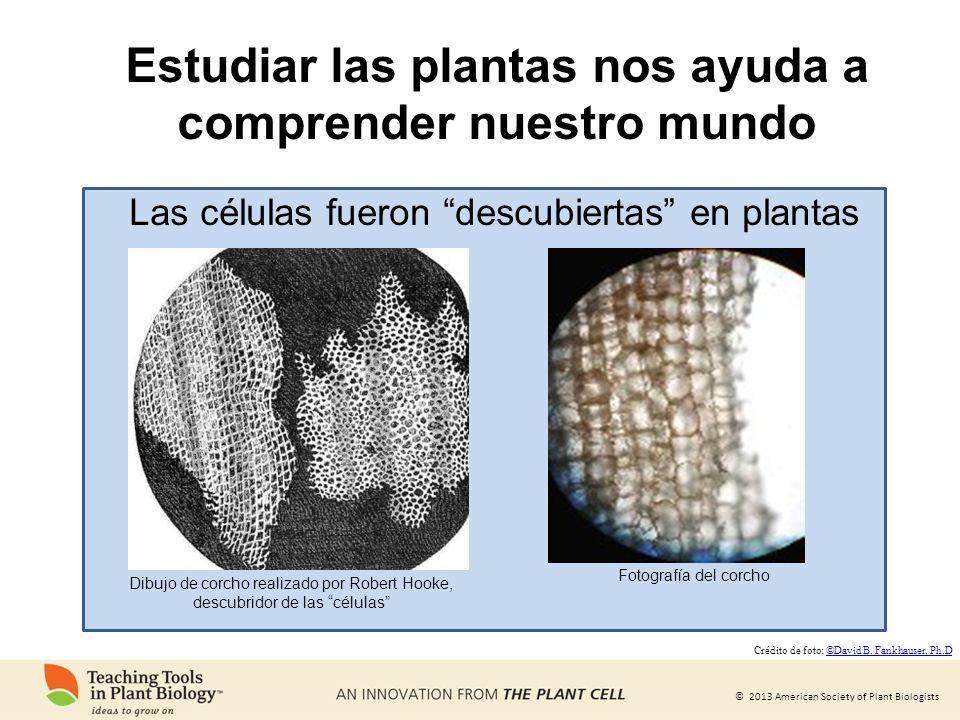 © 2013 American Society of Plant Biologists Estudiar las plantas nos ayuda a comprender nuestro mundo Dibujo de corcho realizado por Robert Hooke, des