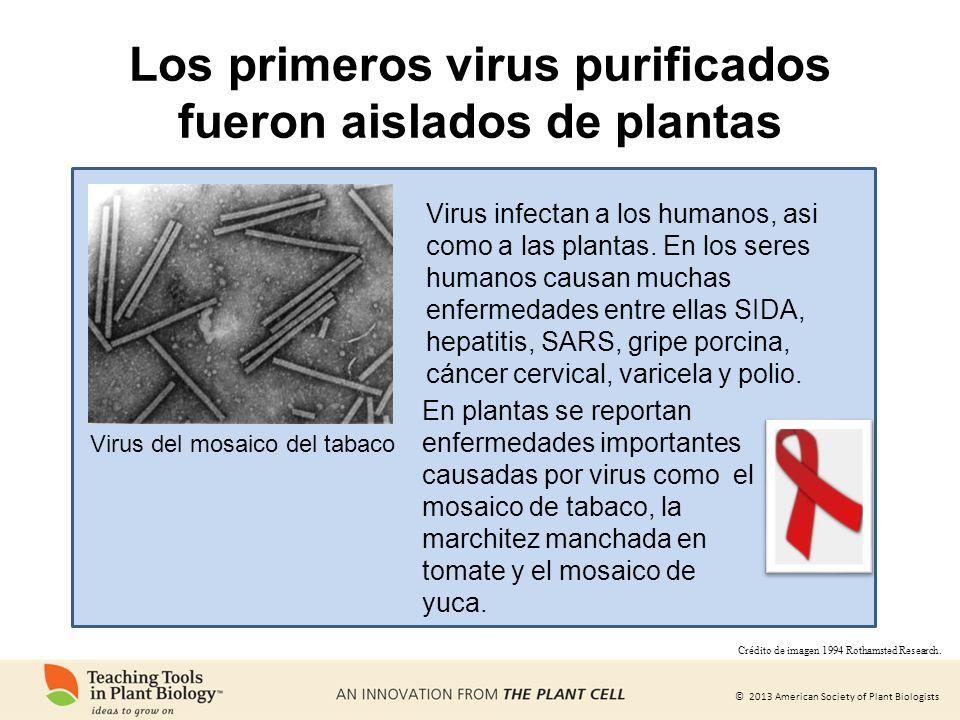 © 2013 American Society of Plant Biologists Los primeros virus purificados fueron aislados de plantas Virus del mosaico del tabaco Virus infectan a lo