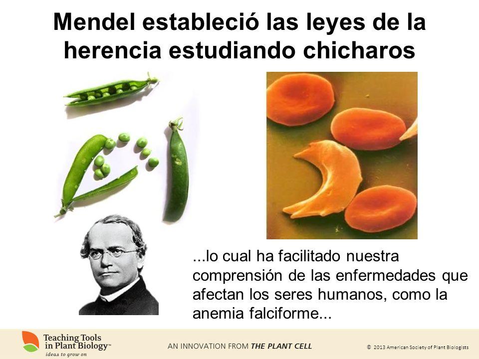 © 2013 American Society of Plant Biologists Mendel estableció las leyes de la herencia estudiando chicharos...lo cual ha facilitado nuestra comprensió