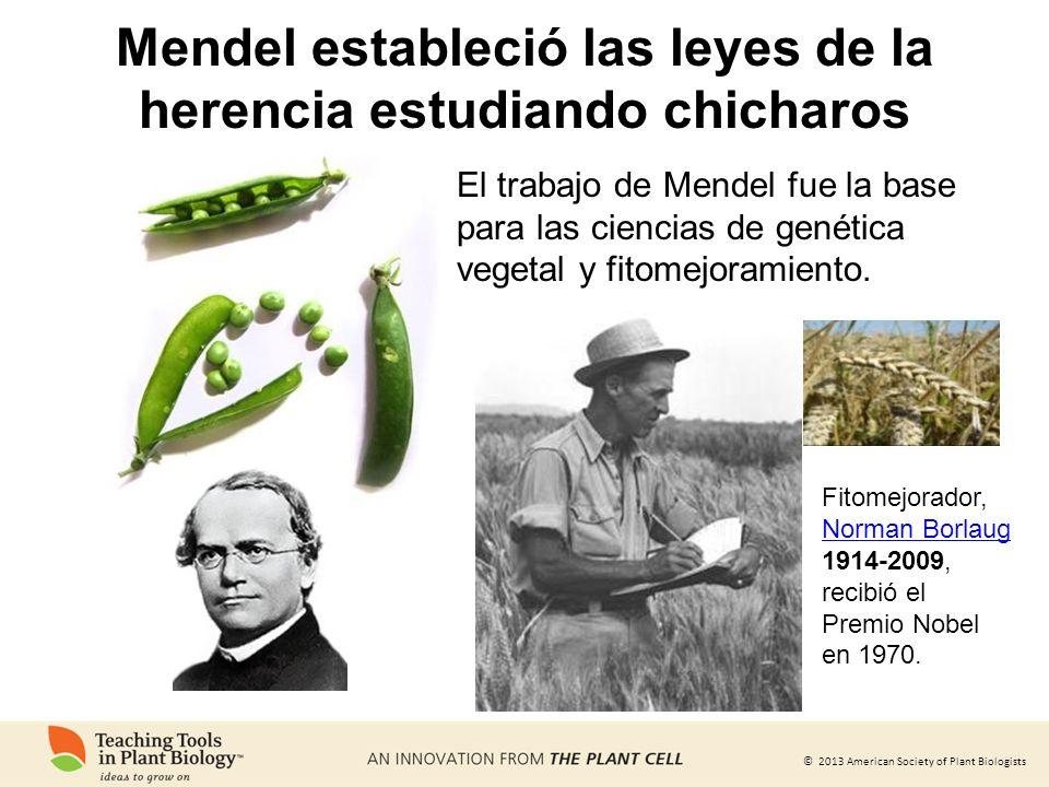 © 2013 American Society of Plant Biologists El trabajo de Mendel fue la base para las ciencias de genética vegetal y fitomejoramiento. Fitomejorador,