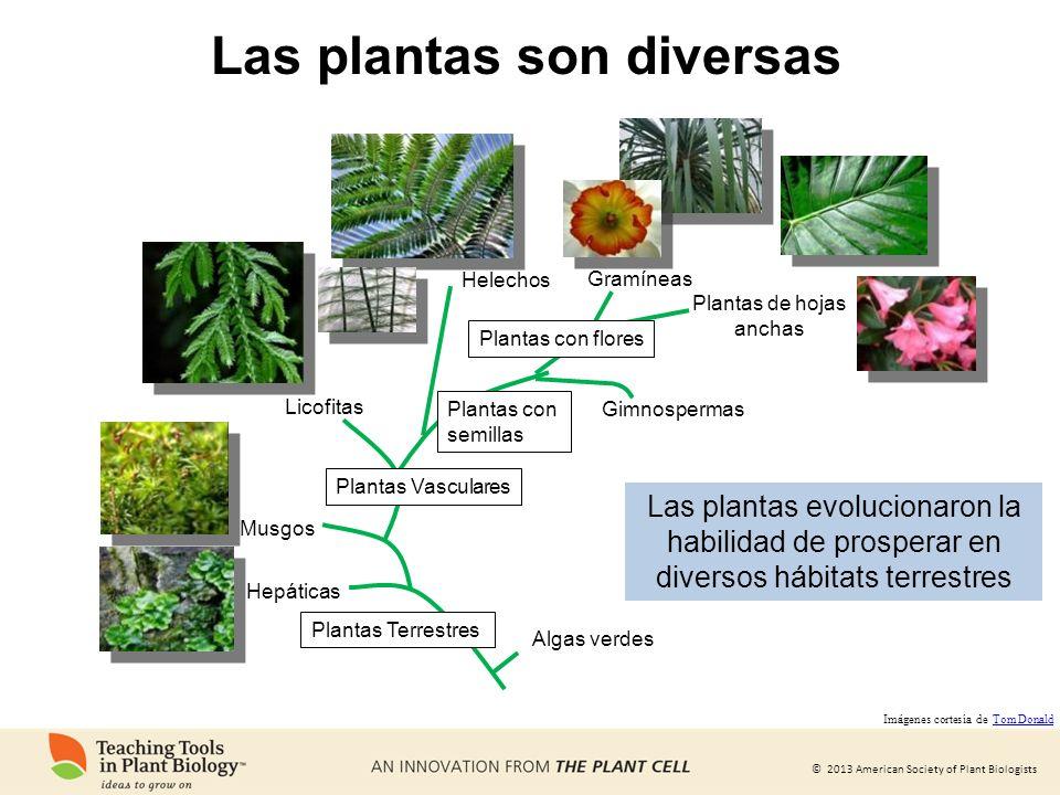 © 2013 American Society of Plant Biologists Las plantas son diversas Algas verdes Hepáticas Musgos Plantas Vasculares Helechos Plantas con semillas Pl