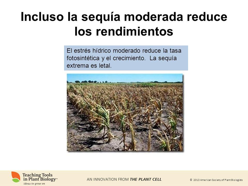 © 2013 American Society of Plant Biologists Incluso la sequía moderada reduce los rendimientos El estrés hídrico moderado reduce la tasa fotosintética