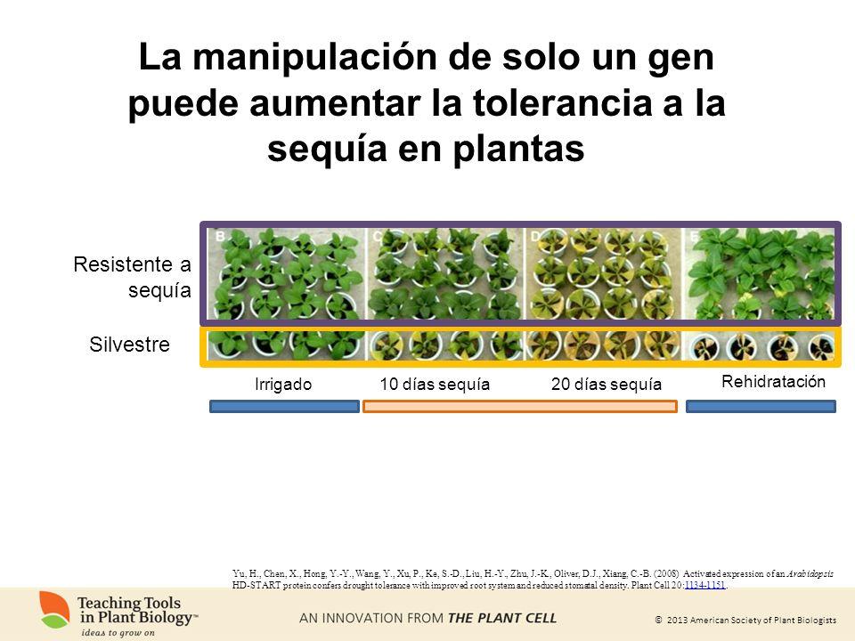 © 2013 American Society of Plant Biologists La manipulación de solo un gen puede aumentar la tolerancia a la sequía en plantas Yu, H., Chen, X., Hong,