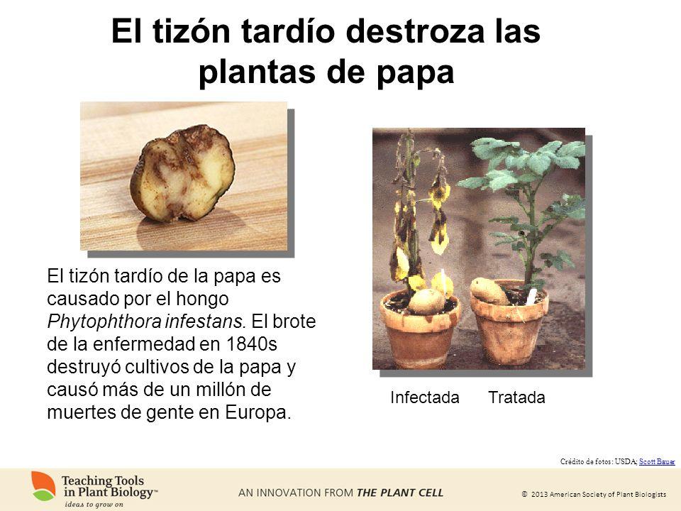 © 2013 American Society of Plant Biologists El tizón tardío destroza las plantas de papa El tizón tardío de la papa es causado por el hongo Phytophtho