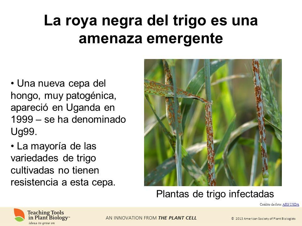 © 2013 American Society of Plant Biologists La roya negra del trigo es una amenaza emergente Una nueva cepa del hongo, muy patogénica, apareció en Uga