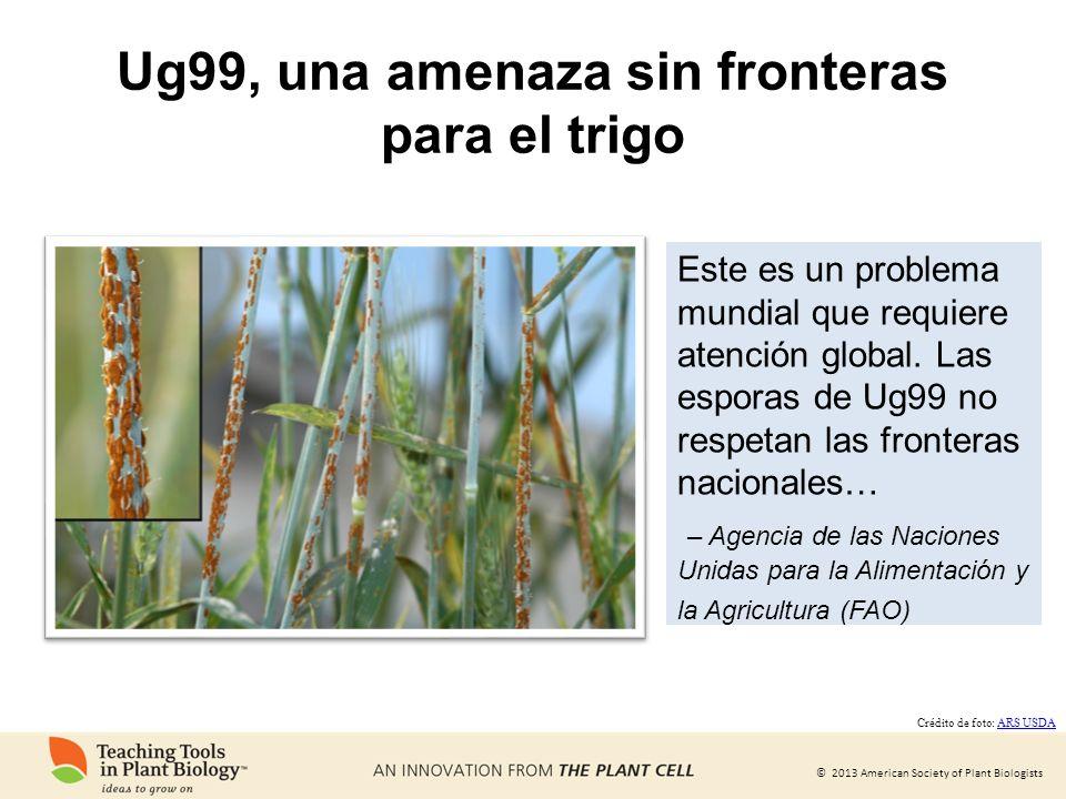 © 2013 American Society of Plant Biologists Ug99, una amenaza sin fronteras para el trigo Este es un problema mundial que requiere atención global. La