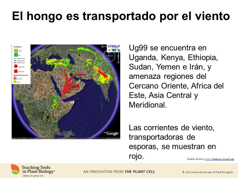 © 2013 American Society of Plant Biologists El hongo es transportado por el viento Ug99 se encuentra en Uganda, Kenya, Ethiopia, Sudan, Yemen e Irán,