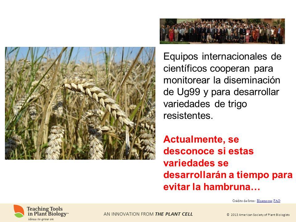 © 2013 American Society of Plant Biologists Equipos internacionales de científicos cooperan para monitorear la diseminación de Ug99 y para desarrollar