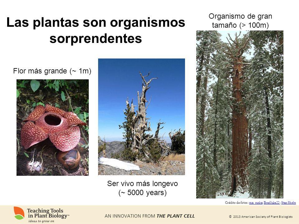 © 2013 American Society of Plant Biologists Las plantas son organismos sorprendentes Flor más grande (~ 1m) Ser vivo más longevo (~ 5000 years) Organi