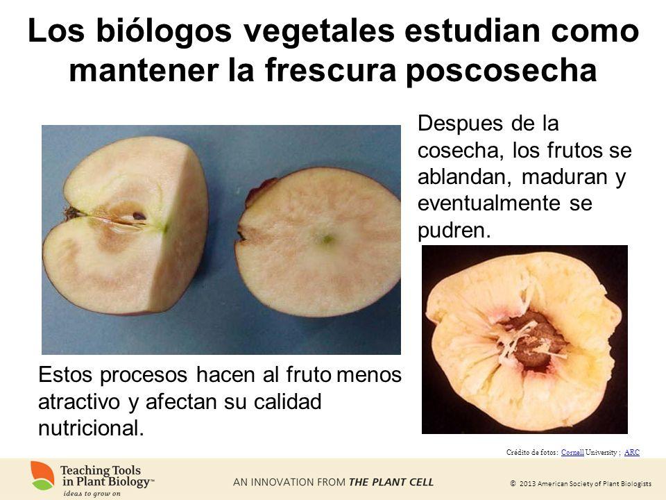 © 2013 American Society of Plant Biologists Los biólogos vegetales estudian como mantener la frescura poscosecha Despues de la cosecha, los frutos se