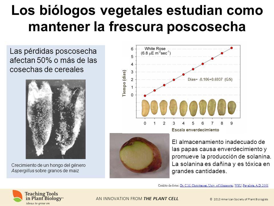 © 2013 American Society of Plant Biologists El almacenamiento inadecuado de las papas causa enverdecimiento y promueve la producción de solanina. La s