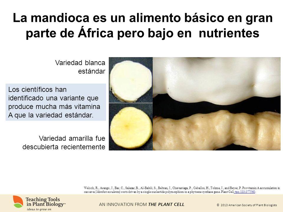 © 2013 American Society of Plant Biologists La mandioca es un alimento básico en gran parte de África pero bajo en nutrientes Los científicos han iden