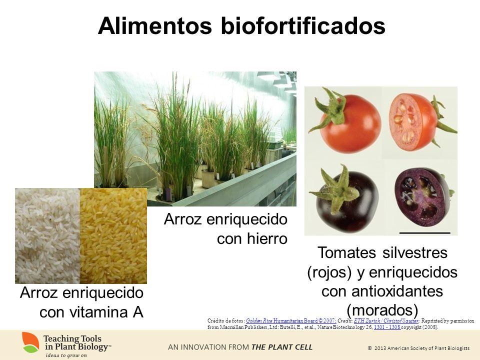 © 2013 American Society of Plant Biologists Alimentos biofortificados Arroz enriquecido con hierro Tomates silvestres (rojos) y enriquecidos con antio