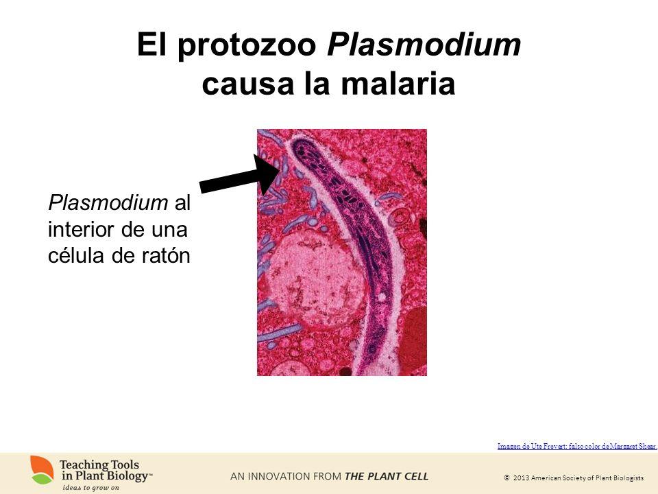 © 2013 American Society of Plant Biologists El protozoo Plasmodium causa la malaria Plasmodium al interior de una célula de ratón Imagen de Ute Frever