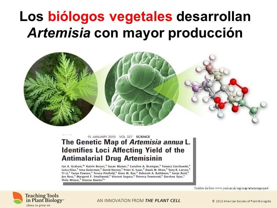 © 2013 American Society of Plant Biologists Los biólogos vegetales desarrollan Artemisia con mayor producción Crédito de foto: www.york.ac.uk/org/cnap