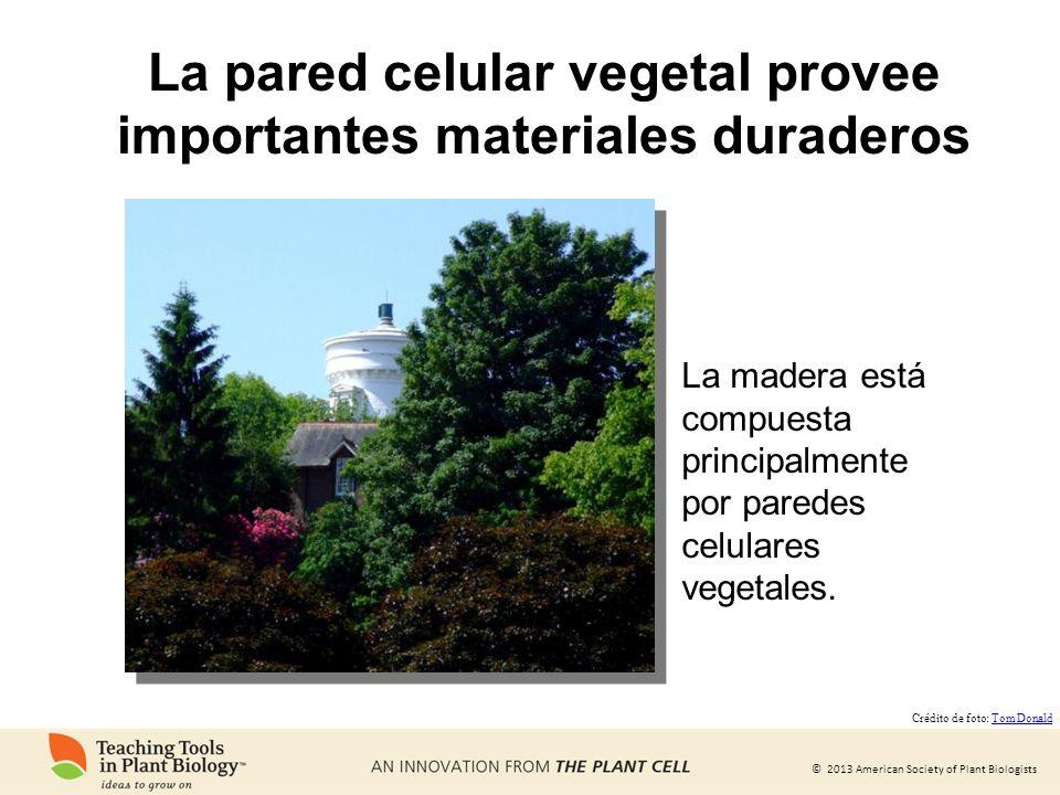 © 2013 American Society of Plant Biologists La pared celular vegetal provee importantes materiales duraderos La madera está compuesta principalmente p