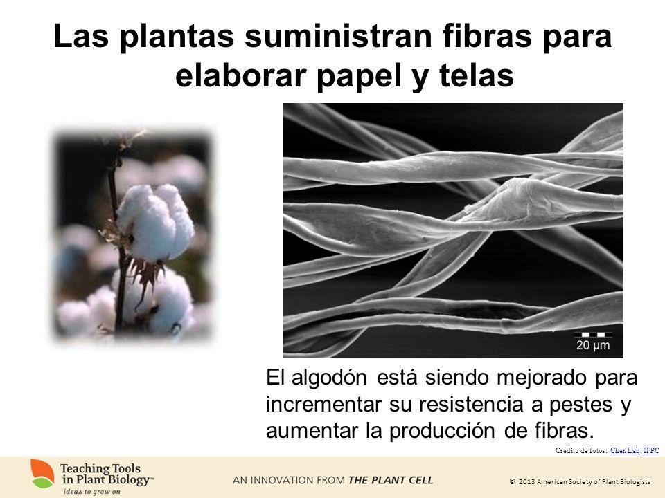 © 2013 American Society of Plant Biologists Las plantas suministran fibras para elaborar papel y telas El algodón está siendo mejorado para incrementa